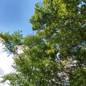 photo of trees in mid-June and semi-cloudy sky